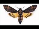 Чешуекрылые, или бабочки рассказывает энтомолог Николай Савенков