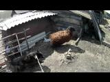 аешка.май 2017.бараны уперлись в забор