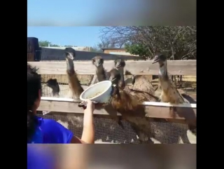Смешные страусы