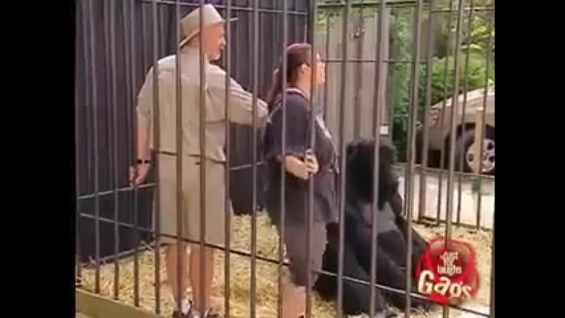 Миленький пранк с гориллой