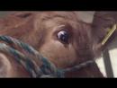 Корова заплакала, думая, что её везут на убой. Но в конце пути её жлал приятный сюрприз.