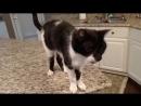 Кот Джек с самым низким в мире Мяу хорошее настроение юмор забавное видео зверь домашнее животное на камеру кухня