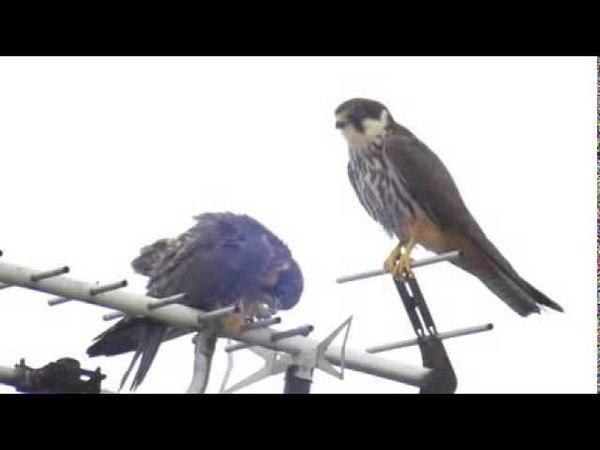 チゴハヤブサ Eurasian hobby Falco subbuteo