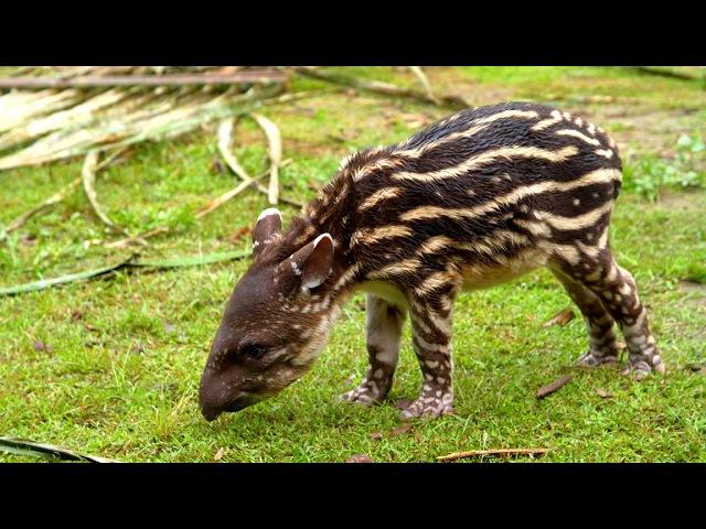 Wild Countdown Baby Tapir ТАПИР