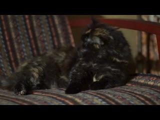 Невозмутимая кошка отдыхает и лижет себя