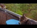Мэйн кун и белка Таллинн PS Кошка с балкона никогда не падала все белки живы
