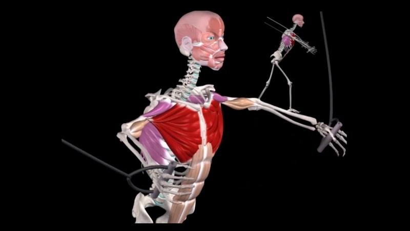 Грудные мышцы. 10 фактов.Биомеханика,тренировки,анатомия