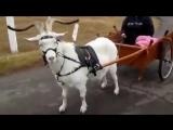 Если нет лошади, но есть козел. Ездовой козел.