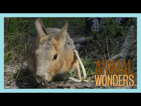 Hangout with Chili Pepper the Patagonian Cavy