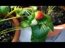 Выращивание ремонтантная клубника земляника strawberry на окне 09.12.17 ягодка поспела 1...