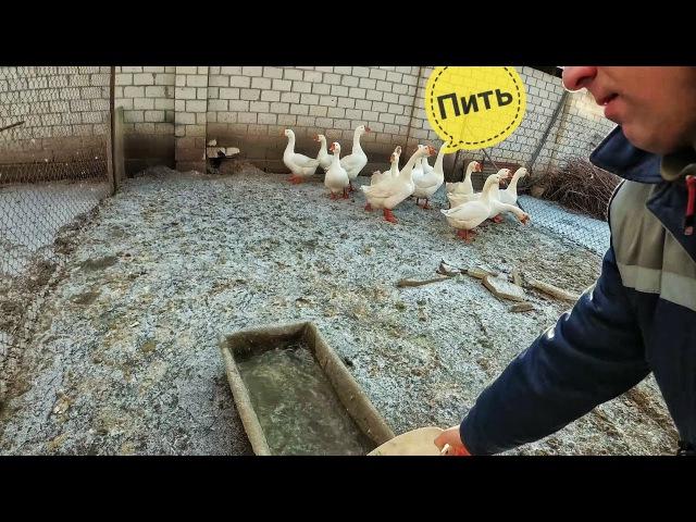 Ранняя яйцекладка у гусей(причины)Поение гусей в мороз