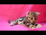 Male №1. British kittens. Аvailable for sale!