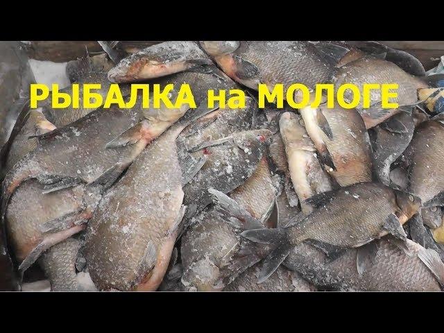 Рыбалка на Мотособаках Бурлак и Тофалар. р. Молога. Жерлицы.