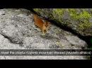 Kashmir Mountain Weasel