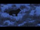 Волк одиночка - Lone wolf