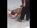 Питбуль загрыз собаку