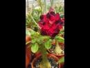 Цветение сеянца от LEO BMA питомник Brahma Garden