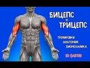 БИЦЕПС и ТРИЦЕПС. 10 ФАКТОВ. Тренировки, Анатомия, Биомеханика