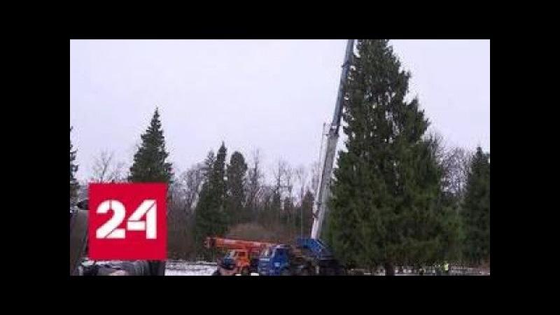 Главную ёлку страны отправят в столицу из Подольского лесничества - Россия 24