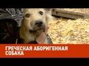 Греческая аборигенная собака Планета собак спешит на помощь 🌏 Моя Планета