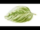 How to Paint Shine on a Sweet Basil Leaf in Watercolor  Jarnie Godwin Art