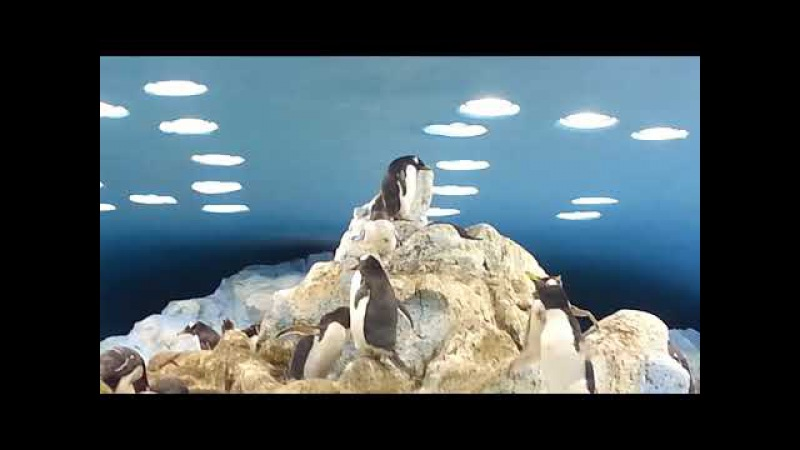 Пингвины. Лоро Парк. Тенерифе. Penguins. Loro Park. Tenerife.