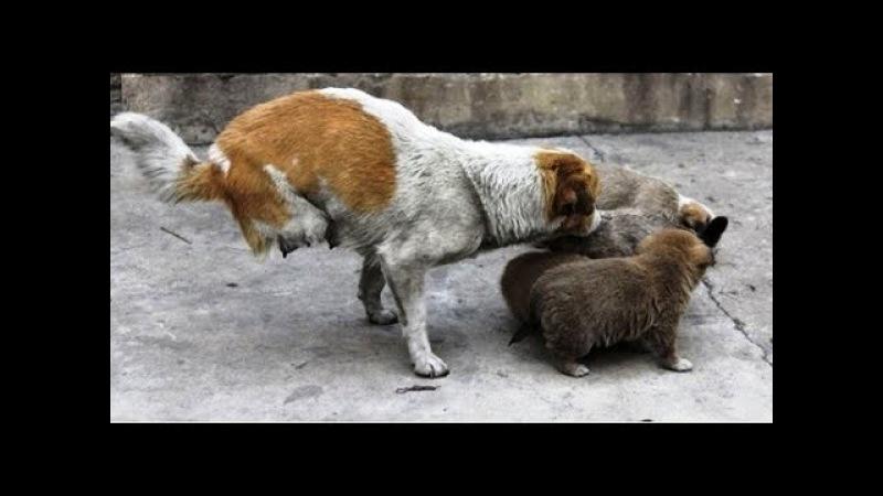 Двухлапая собака-мама Ши Бао не собиралась сдаваться и даже родила 4 прелестных щенков.
