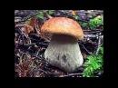 Белые грибы еловые 2! 08.09.2017. Ссылка на группу вконтакте: gribniki_russia