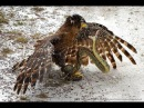 Eagle vs Giants Snake vs King Cobras ➤ Big Snake Attack :Cat ,Bird , Tiger , Leopard Compilation