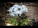 ABC TV How To Make Queen Anne's Lace Flower From Paper - Craft Tutorial
