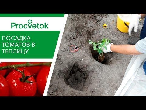 Как высаживать помидоры Высадка рассады томатов в теплице Посадка томатов