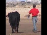 Невероятная дружба между человеком и быком