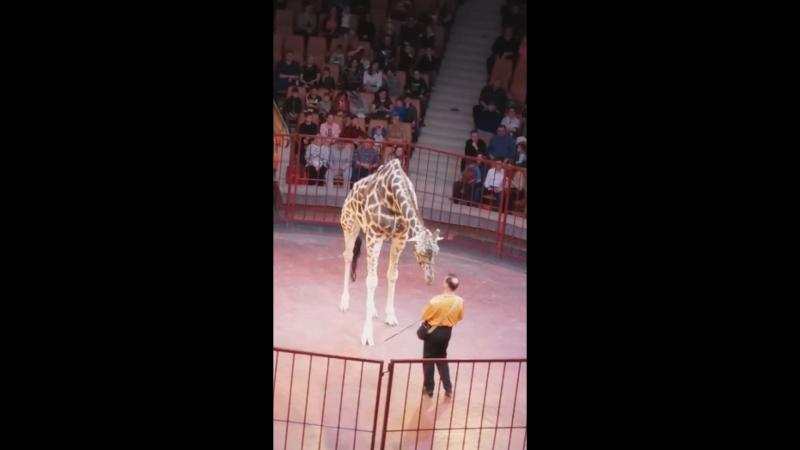 жираф шоу ( жираф Багир)