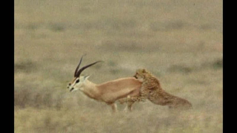 BBC Жизнь млекопитающих - The Life of Mammals (2002-2003) 05. Плотоядные