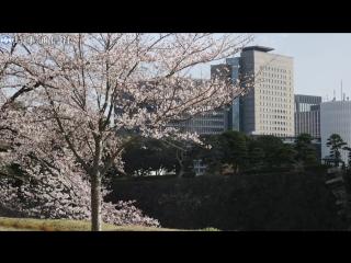 桜満開。皇居内「乾通り」の一般公開始まる