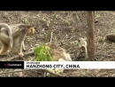 NC В Китае ринопитек - друг человека