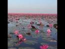 Озеро красных лотосов в провинции Удонтхани, Таиланд