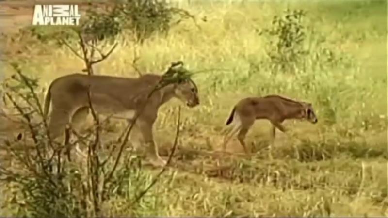 Невероятно! Львица приютила дитя антилопы. Загадка природы! Любовь победила голо
