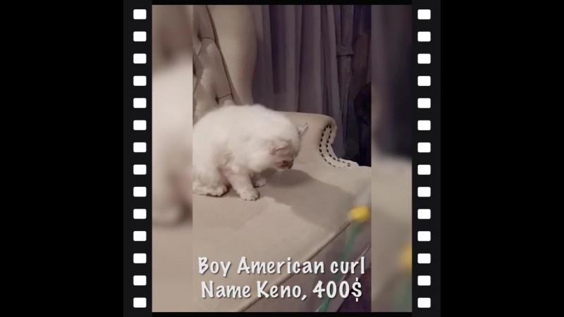 Boy kitten American Curl Keno