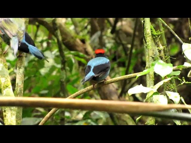 Ласточкохвостый красноногий манакин / Blue manakin or Swallow-tailed manakin / Chiroxiphia caudata