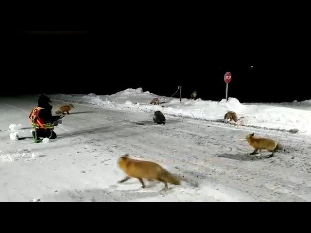 Подкормка диких животных. Росомаха, лисицы. Чукотка, 2017