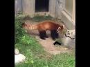 Красная панда 🌍