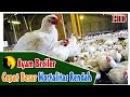 Ternak Ayam Pedaging Cepat Besar Dalam 30 Hari Mortalitas Rendah Pakan Ayam Broiler Terbaik