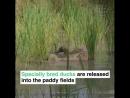 Утки вместо пестицидов на рисовых плантациях