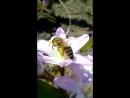 пчёлка труженица