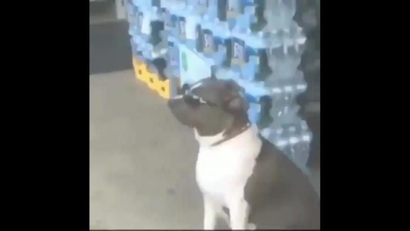 Пёс-босс