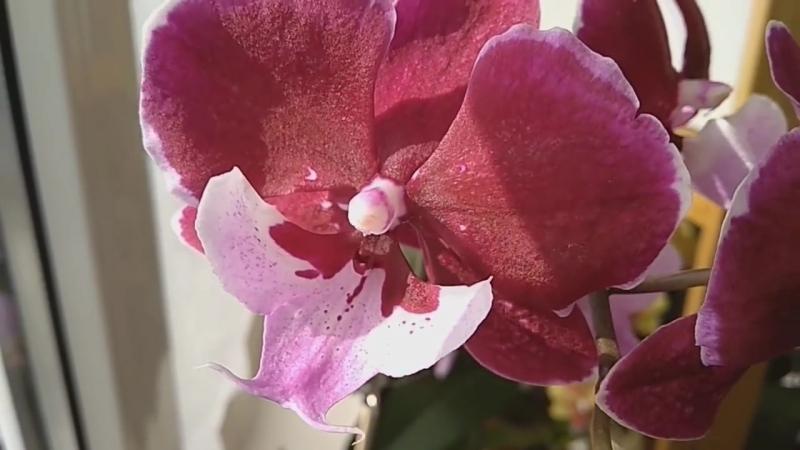 Фаленопсис CHIA SHING HOT KISS от MIKIORCHID