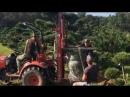 Выкопка и упаковка садового бонсай из горной сосны