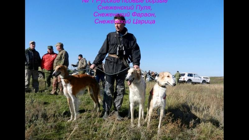 2013.11.02-06 Всероссийские состязания собак борзых пород по зайцу-русаку.