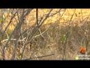 Мангуст охотится на змею